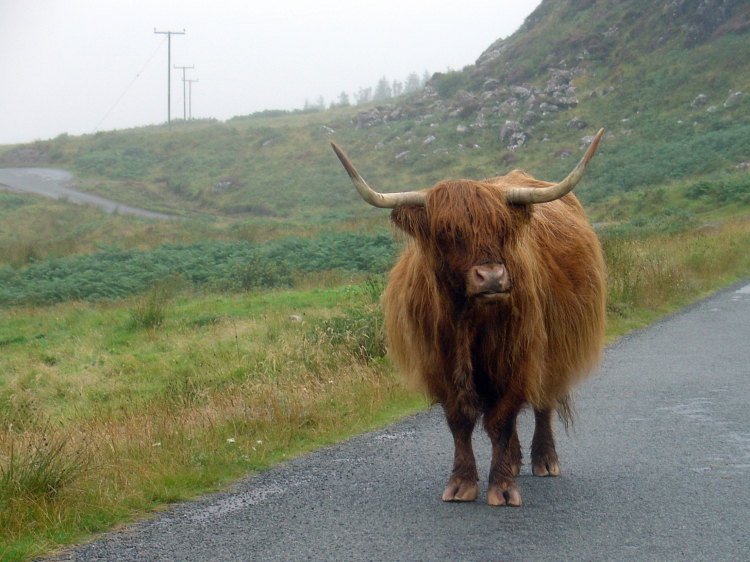 Highland Cow - Scotland, UK - August 2006