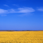 Yellow field of rapeseed - Near Aberdeen, Scotland - May 7, 1989