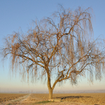 Weeping Willow - Sant'Agata Bolognese, Bologna, Italy - December 22, 2011