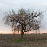 Weeping Willow - Sant'Agata Bolognese, Bologna, Italy - December 9, 2014