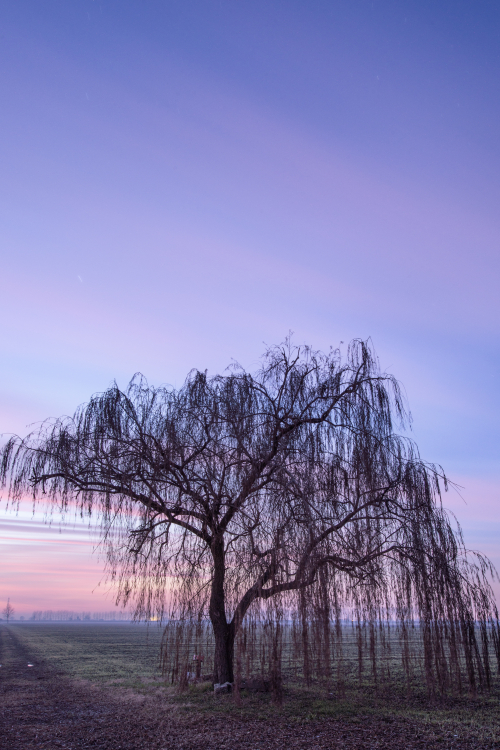 Weeping Willow - Sant'Agata Bolognese, Bologna, Italy - January 4, 2013