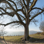 La Grande Quercia (The Big Oak) - Scandiano, Reggio Emilia, Italy - February 1, 2015
