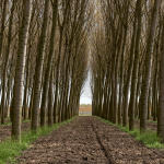 Poplars - Viadana, Mantova, Italy - April 8, 2018
