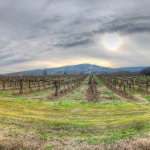 Vineyard at Sunset  - Albinea, Reggio Emilia, Italy - December 18, 2011